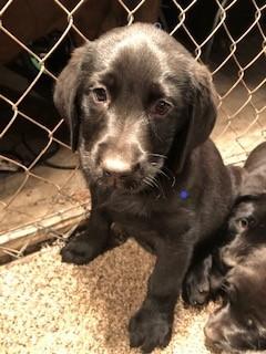Contact – Labrador Pups